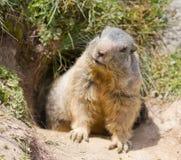 Groundhog in front of den. Groundhog sitting in front of it's den in summer in Valais, Switzerland stock photos