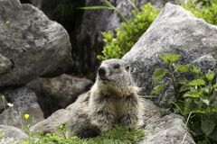 Groundhog in front of his cave Stock Photography