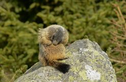 Groundhog on a Stone cleaning hiis fur stock images