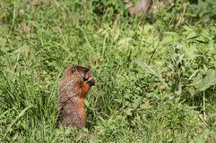 Groundhog gnawing a carrot. Groundhog entertained to gnaw a carrot royalty free stock images