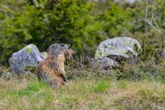 Groundhog with grass in his mouth. Groundhog carrying grass for his nest in the mouth royalty free stock image