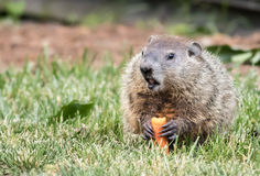 Groundhog in grass mouth open with carrot Stock Photos