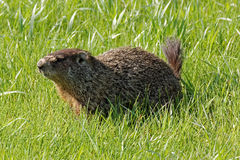 Groundhog in the Grass. A groundhog poses in the grass. These large rodents can be found on the ground and climbing trees stock photos
