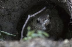 Groundhog in a Graveyard. A groundhog hides in his hole in the middle of a historic graveyard in Western New York royalty free stock image