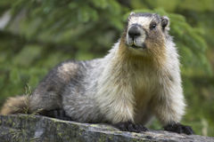 Groundhog with green background in Alberta. Canada Royalty Free Stock Images