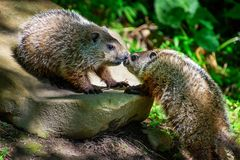 Groundhog greeting sibling. Two young groundhogs from the same litter or social group greet each other with a nose to mouth kiss royalty free stock photos