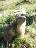 A groundhog on guard duty in the Alps. A groundhog enjoying the sun in the heights of the French Alps stock image