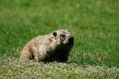 Groundhog haciendo estallar fuera de su agujero Foto de archivo