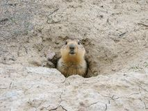 Groundhog after hibernation, Baikonur, Kazakhstan. Groundhog head against the background of gray clay and green shoots of young grass royalty free stock photography