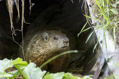 Groundhog hiding Stock Photography