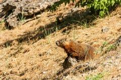 Groundhog on Hillside Stock Images