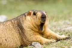 Groundhog himalayan de bostezo divertido de la marmota en el prado verde imagen de archivo libre de regalías