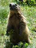 Groundhog looking for food in the French Alps. A groundhog hungry shows its teeth in the French Alps stock photo