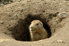 Groundhog In His Hole Royalty Free Stock Images
