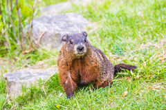 Groundhog - journée de printemps en Edward Garden photos stock