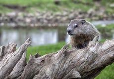 Groundhog juvenile stock image