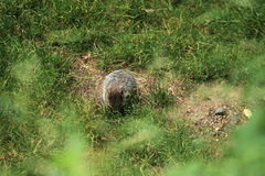Groundhog. Or land-beaver on the grass royalty free stock photos