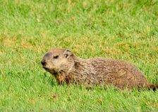 Groundhog. A Groundhog laying in the green grass stock photos