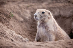 Groundhog. Little groundhog coming out of a ground hole stock image