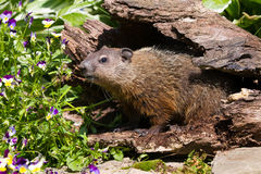 Groundhog looking out for his shadow. During springtime stock images