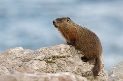 Groundhog. A Groundhog looking out on top of boulders in Port-Daniel (Quebec, Canada) in August of 2015 royalty free stock photo