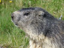 A groundhog in the French Alps. A groundhog looking for a prey in the French Alps stock photos