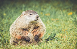 Groundhog looking right with mouth closed in vintage garden setting Stock Image