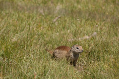 Groundhog on the lookout. Groundhog in the field looking for food stock photo