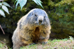 Groundhog. Marmot , sitting at the entrance to the burrow stock photography