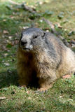 Groundhog. Marmot , sitting in the grass stock image