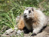 Groundhog marmot in wild Royalty Free Stock Photo