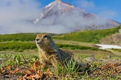 The Groundhog Marmota camtschatica looked out of the nora to look around. Wildlife. Selective focus stock image
