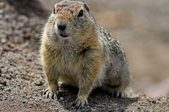 The Groundhog Marmota camtschatica looked out of the nora to look around. Wildlife. Selective focus stock photos