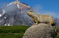 The Groundhog Marmota camtschatica looked out of the nora to look around. Wildlife. Selective focus stock images