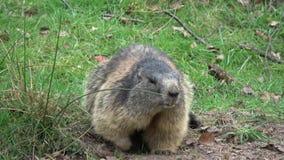 Groundhog stock footage