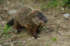 Groundhog - Marmota monax Royalty-vrije Stock Afbeelding