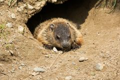 Groundhog - Marmota monax Royalty-vrije Stock Foto