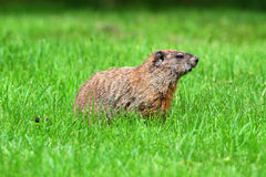 groundhog marmota monax Obrazy Royalty Free