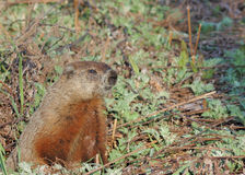 Groundhog (Marmota monax). A groundhog at his burrow in early spring stock photos