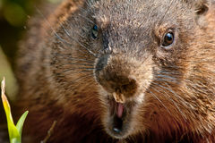 Free Groundhog - Marmota Monax Royalty Free Stock Photo - 46337335
