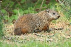 Groundhog (marmota monax) Obrazy Royalty Free