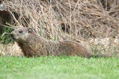 Groundhog (marmota monax) Zdjęcia Royalty Free
