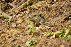 Groundhog (marmota monax) Stock Afbeelding