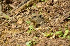 Groundhog (marmota monax) Stock Afbeeldingen