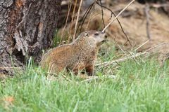 Groundhog (Marmota monax) Royalty Free Stock Photography