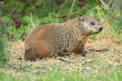 Groundhog (Marmota monax). Also known as a Woodchuck in a field royalty free stock images