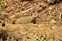 Groundhog (Marmota monax). A burrowing rodent native to the continent of North America royalty free stock photos