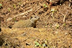 Groundhog (Marmota monax). A burrowing rodent native to the continent of North America stock images