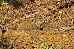 Groundhog (Marmota monax). A burrowing rodent native to the continent of North America stock photos