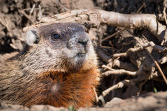 The groundhog - Marmota monax stock photography